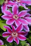 Close up of a large flowering clematis fireworks stock photos