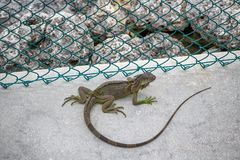Close up of a large green iguana on a walkway, Florida stock images