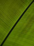 Close up of a large green leaf Stock Photos
