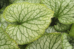 Close up of large green perenial leaf Royalty Free Stock Photos
