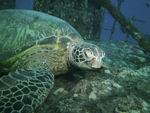 Close up of a large green turtle resting on a ship wreck, Oahu stock image