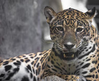 Close up of a large Jaguar. Lying completely relaxed on a tree branch Stock Photo