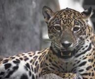 Close up of a large Jaguar Stock Photo