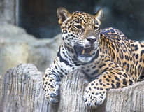 Close up of a large Jaguar. Lying completely relaxed on a tree branch Royalty Free Stock Images