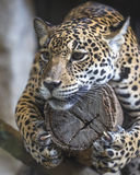 Close up  a large Jaguar. Lying completely relaxed on a tree branch Royalty Free Stock Photography