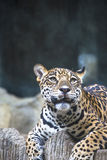 Close up of a large Jaguar. Lying on a rock Royalty Free Stock Photo