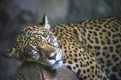 Close up  a large Jaguar. Close up a large Jaguar lying on a rock Royalty Free Stock Images
