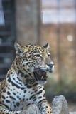 Close up  a large Jaguar Royalty Free Stock Image