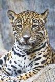 Close up  a large Jaguar Stock Photography