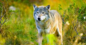 Large male grey wolf in autumn colored field in the forest Stock Image