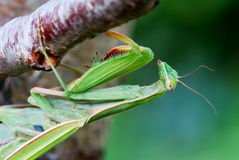 Close up of a large mantis Royalty Free Stock Photos