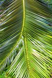 Close-up Large palm leaves Royalty Free Stock Images