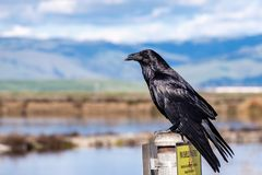 Close up of large raven perched on a metal post in south San Francisco bay area; blurred ponds and green hills visible in the stock image