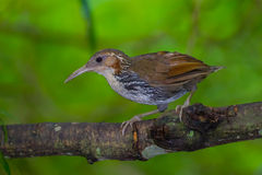 Close up of Large Scimitar Babbler. ( Pomatorhinus hypoleucos ) in nature at Kaengkracharn national park,Thailand Stock Image