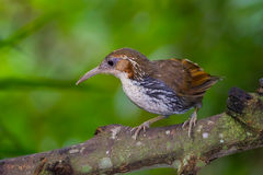 Close up of Large Scimitar Babbler Stock Photo