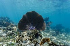 Close-up of large sea fan sitting on coral reef in blue Caribbean Stock Photography