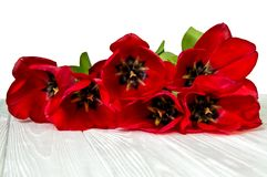 Close up. Large spring bright red tulips. Celebration, spring, March 8. Isolated on white background. Copy space royalty free stock photos
