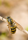 Close-up of large wasp on thin branch Royalty Free Stock Images