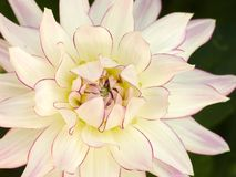 Large white dinner plate dahlia flower with pink edged petals. Close up of large white dinner plate dahlia flower with pink edged petals stock photos