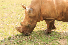 Close-up of the large white rhinoceros (Ceratotherium simum) Royalty Free Stock Photos