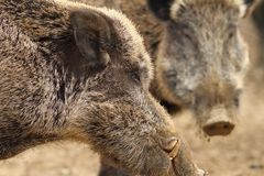 Close up of large wild boar male Royalty Free Stock Photography