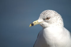 Close-up of Laridade Seagull Royalty Free Stock Photos