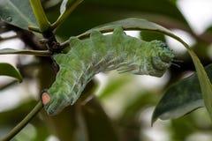 Atlas moth - Attacus atlas - caterpillar on its host plant stem stock photo