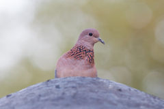 Close-up of a laughing dove (Streptopelia senegalensis) Royalty Free Stock Image