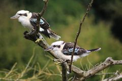Laughing kookaburra, Dacelo novaeguineae. Close up of laughing kookaburra resting in tree Royalty Free Stock Photos