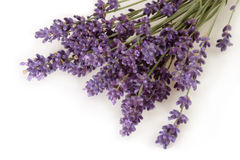 Close-up of Lavender Stock Images