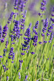 Close up of lavender Stock Image