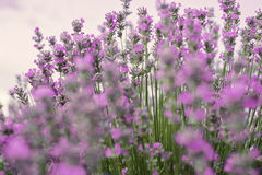 Close up of lavender. Blurred background.  stock photo