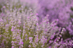 Close up of lavender. Blurred background. Lavender fields. Purple background stock photography