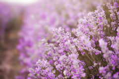 Close up of lavender. Blurred background, Selective focus. Close up of lavender. Blurred background. Lavender fields. Vintage tinted royalty free stock images