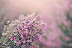 Close up of lavender bouquet. Blurred background royalty free stock photos