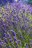 Close-up Lavender bushes in sunny day royalty free stock images