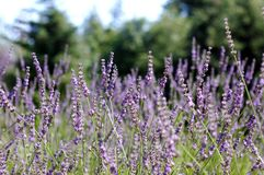 Close up of lavender field Royalty Free Stock Image