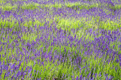 Close up of lavender field Royalty Free Stock Images