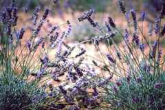 Close Up of Lavender field Royalty Free Stock Photos