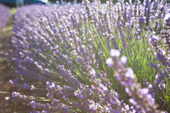 Close Up of Lavender field Stock Photos