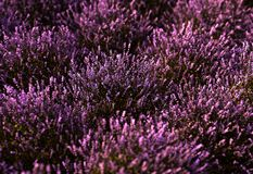 Close-up on a lavender field at sunset royalty free stock photo
