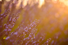 Close up of a lavender flower at sunset light. In Provence stock photos