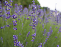 Close-up of lavender Stock Photos
