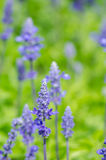 Close-up of lavender flowers bloom Stock Photography