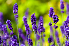 Close-up of lavender flowers in a field Royalty Free Stock Photo