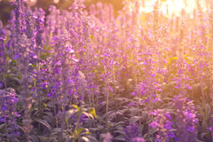 Close-up lavender flowers in the garden Royalty Free Stock Photos