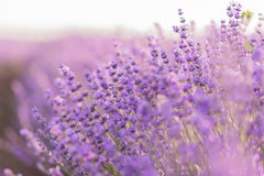 Close up of lavender flowers in a lavender field under the sunrise light.  stock image
