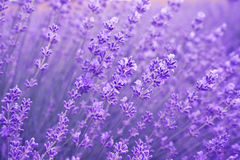 Close up of lavender flowers. Soft focus of lavender field. Royalty Free Stock Image