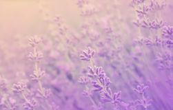 Close up of lavender flowers. Soft focus of lavender field. Stock Photo