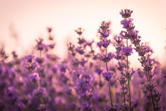 Close up of lavender flowers under the sunrise light.  royalty free stock image